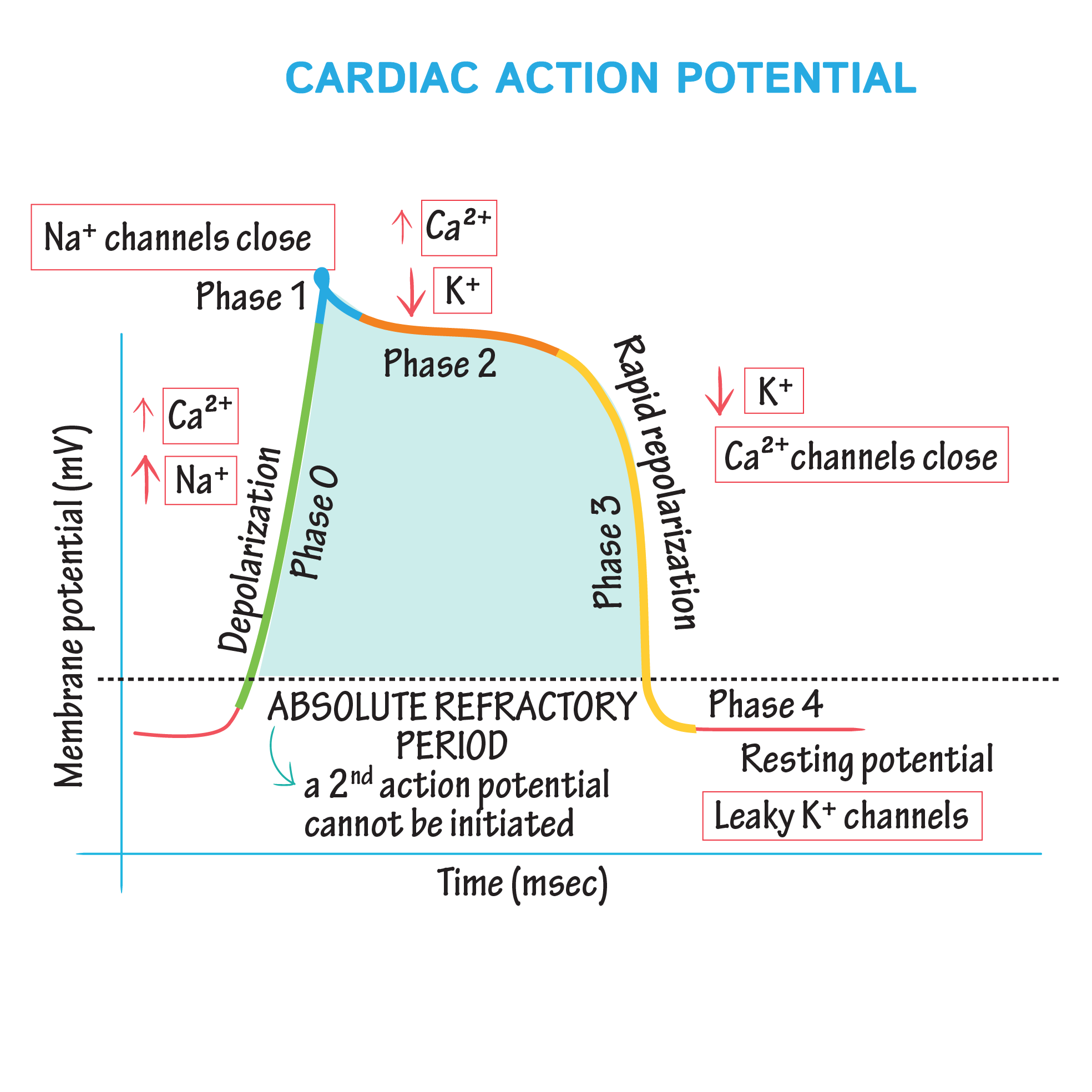 Image result for phase 0-4 action potential