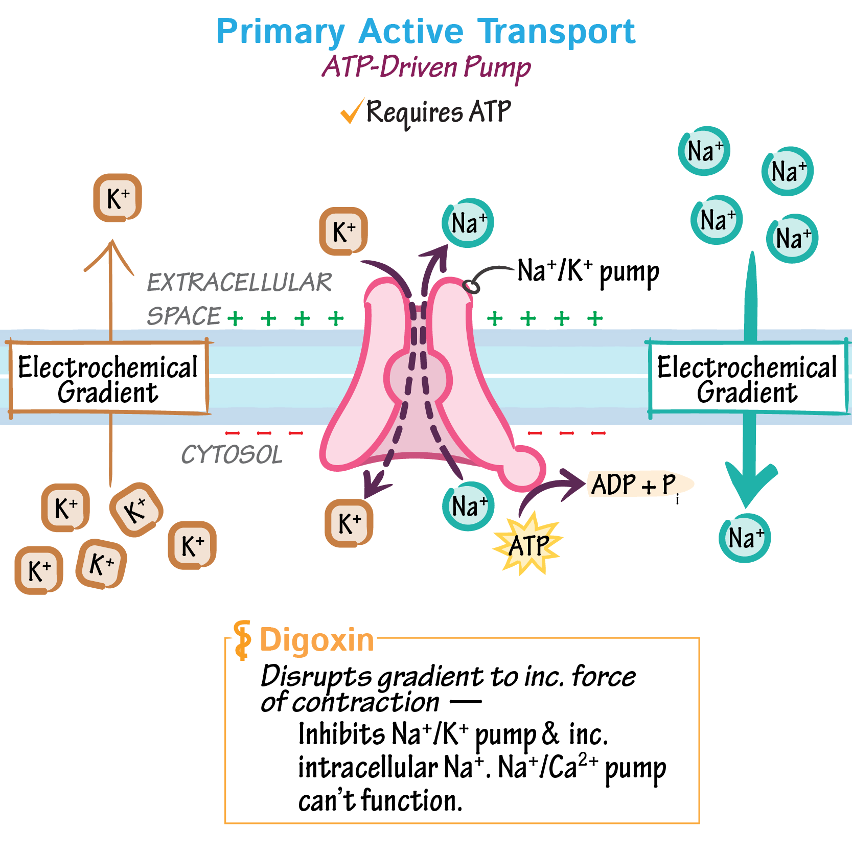 What Is Active Transport In Biology
