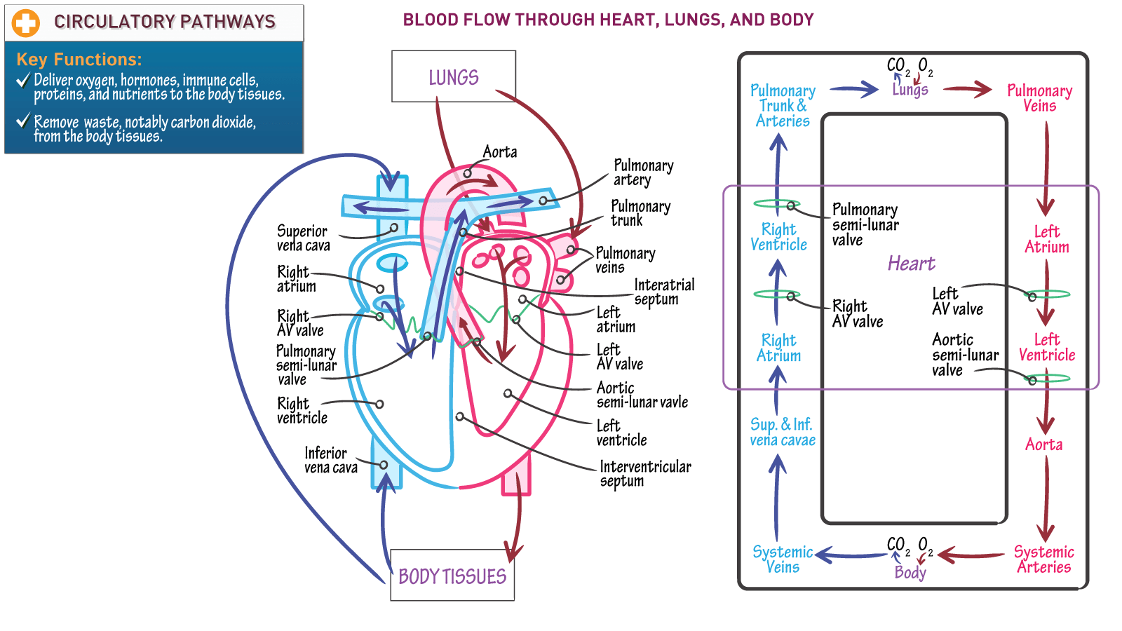Anatomy Amp Physiology Blood Flow Through Heart Lungs And