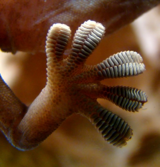 Image of a gecko foot, whose ability to stick on to surfaces inspired NASA's Jet Propulsion Laboratory to develop a possible space debris snagging system. Credit: Wikimedia Commons