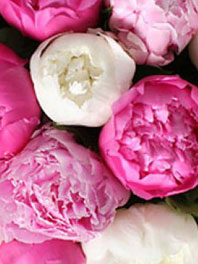 Peonies for Sale   Peony Flowers for Weddings   Flower Explosion Peonies  Jan   Feb