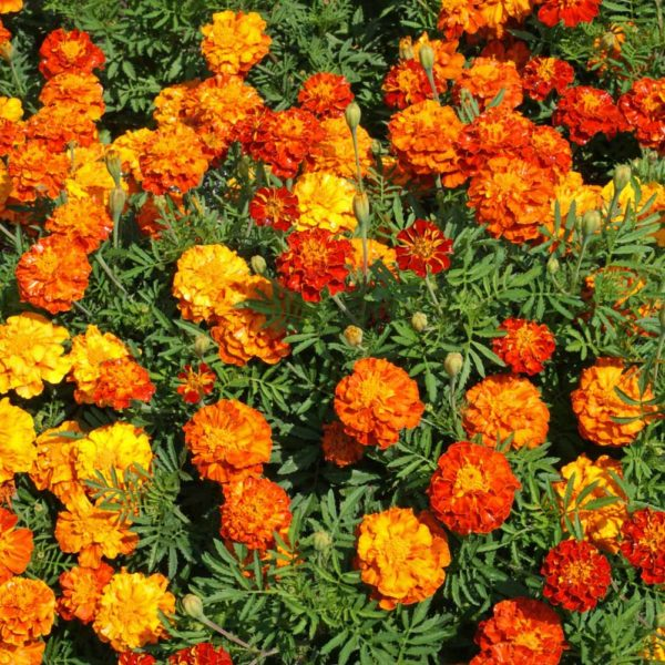 sku masm packet categories flower seed container flower seed marigold seed