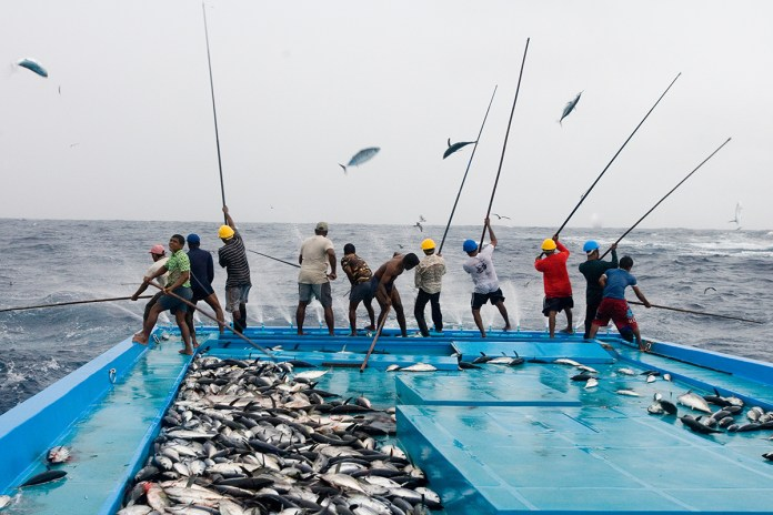 Fishermen catching tuna with a pole and line