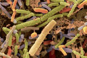 Bifidobacterium bacteria