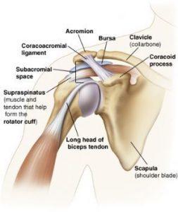 general shoulder anatomy