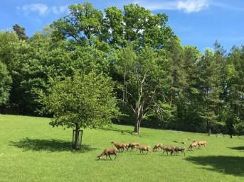Wildnispark Zurich, Deers