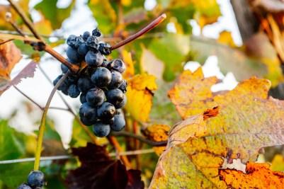 Scheiblhofer vineyards, Austria