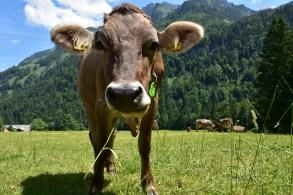 Cows in Stöckalp