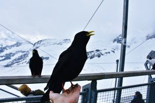 Jungfraujoch - Top of Europe, Alpine Chough