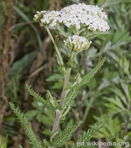 Yarrow white flower