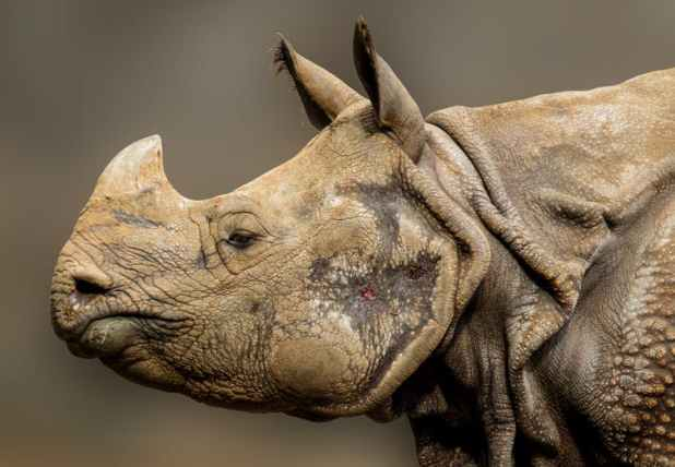 An Indian One-horned Rhinoceros. Photo Credit: Via Pixabay