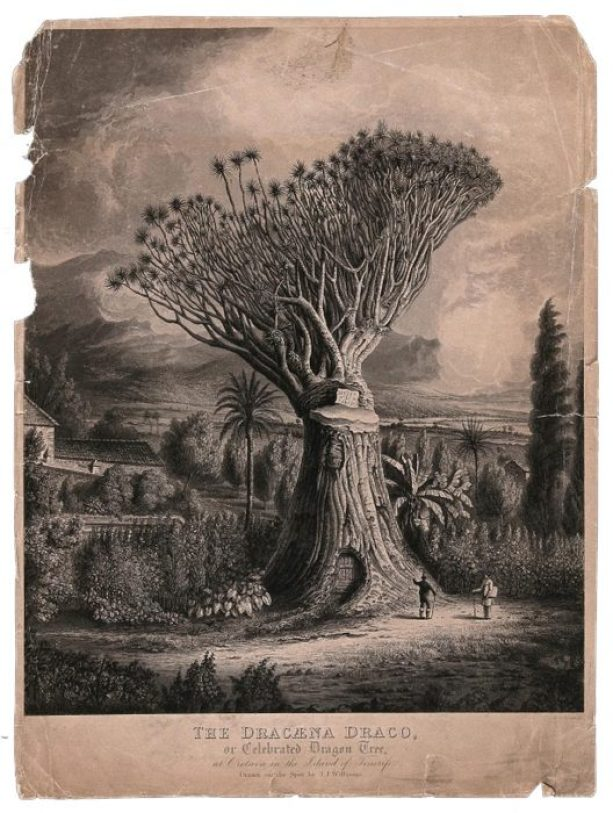 an 1819 drawing of the dragon blood tree in black and white with a gash in its stem with two botanists at its base, it towers over the landscape