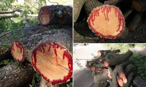 """Stumps of dragon blood trees on top of each other, that have been cut. They are """"bleeding"""""""