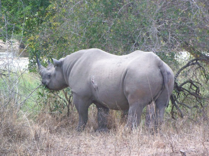 From the story a bicycle is no match for a black rhino