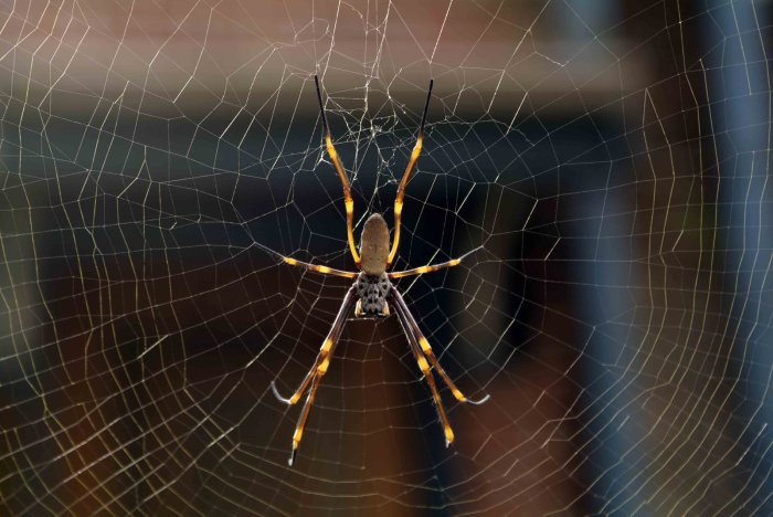 A golden orb spider for reference to the story