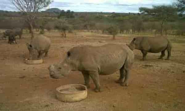 Rhinos feeding at Mauricedale Game Ranch