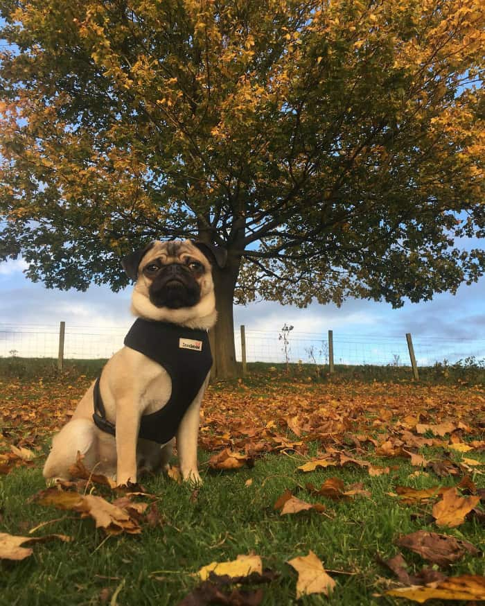 Pug Archie
