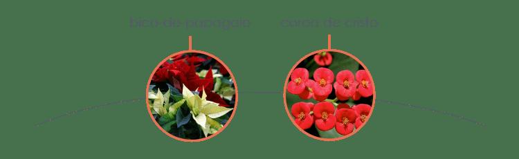 Plantas tóxicas para cães: bico-de-papagaio e coroa de cristo