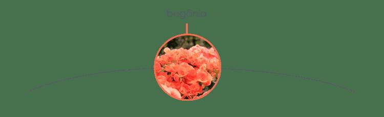 Plantas tóxicas para cães: begônia