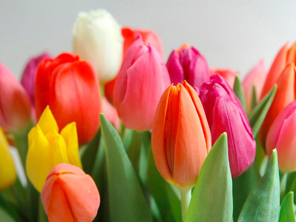 Plantas tóxicas para cães: Tulipa