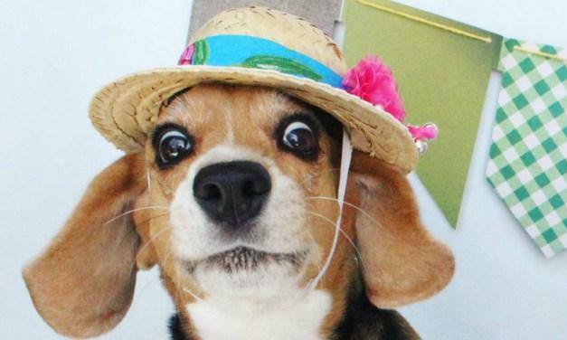 Arraiá Canino: 14 cachorros que mais arrasam no look festa junina