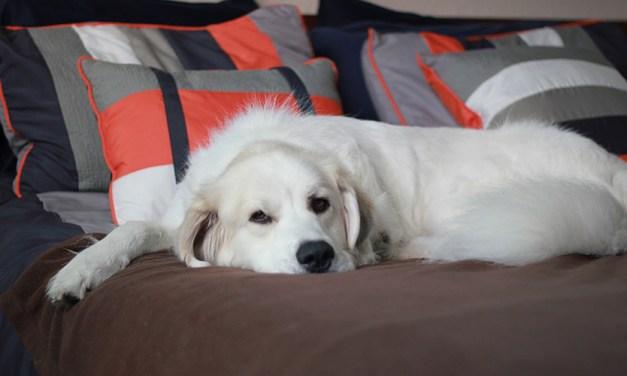 Ansiedade de separação: o cachorro sofre quando você sai de casa? Veja o que fazer