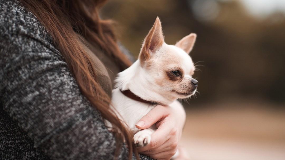 Chihuahuas se adaptam facilmente a casas e apartamentos pequenos