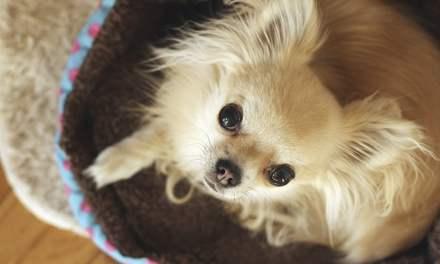 Chihuahua: animado, independente e divertido