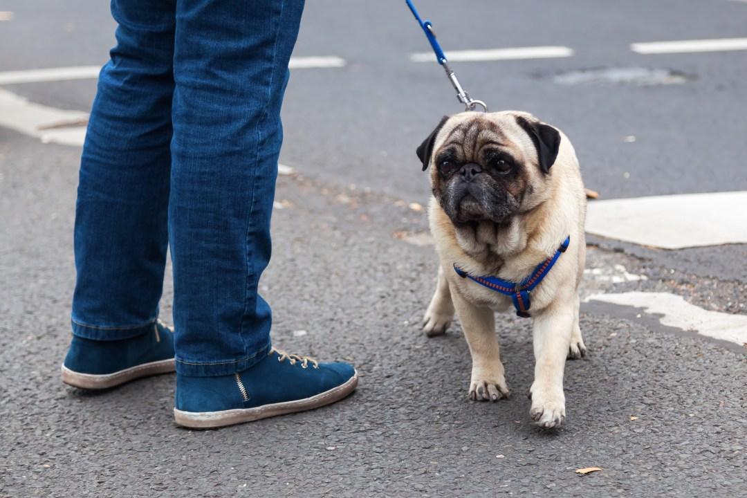 Apesar de não ser muito atlético, o pug adora uma caminhada