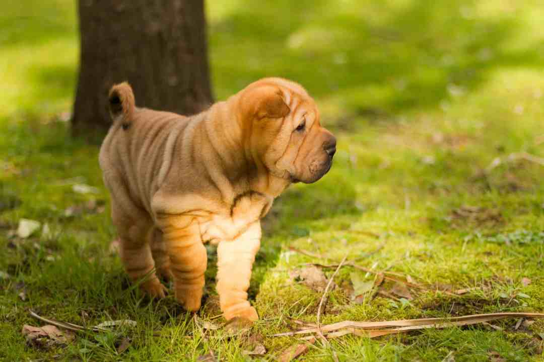 As dobrinhas do shar-pei o tornaram famoso ao redor do mundo