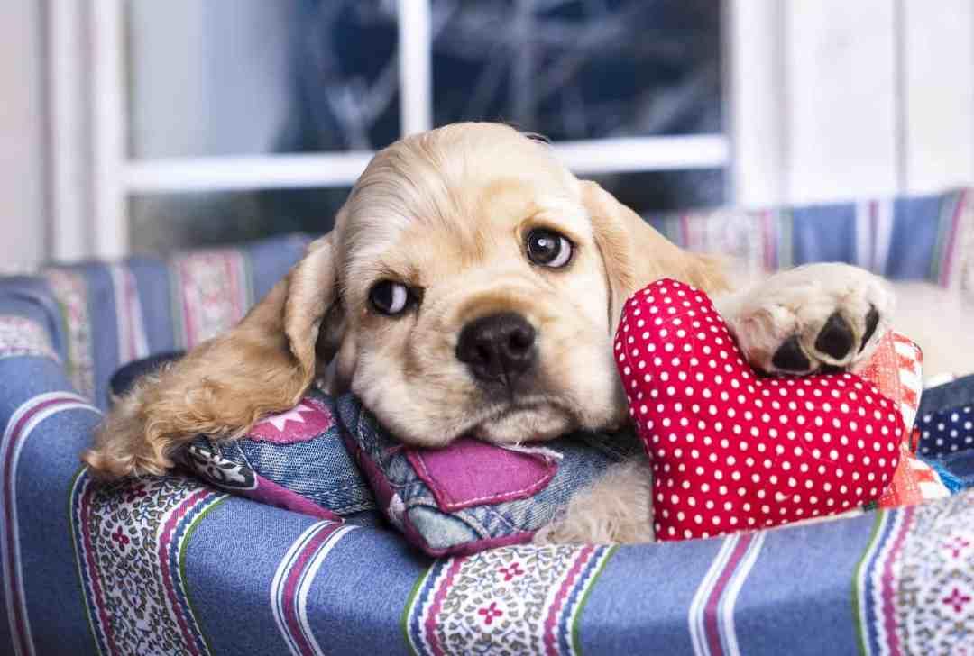 Por seu rosto expressivo e orelhas fofas, esse cachorro conquistou fãs ao redor do mundo