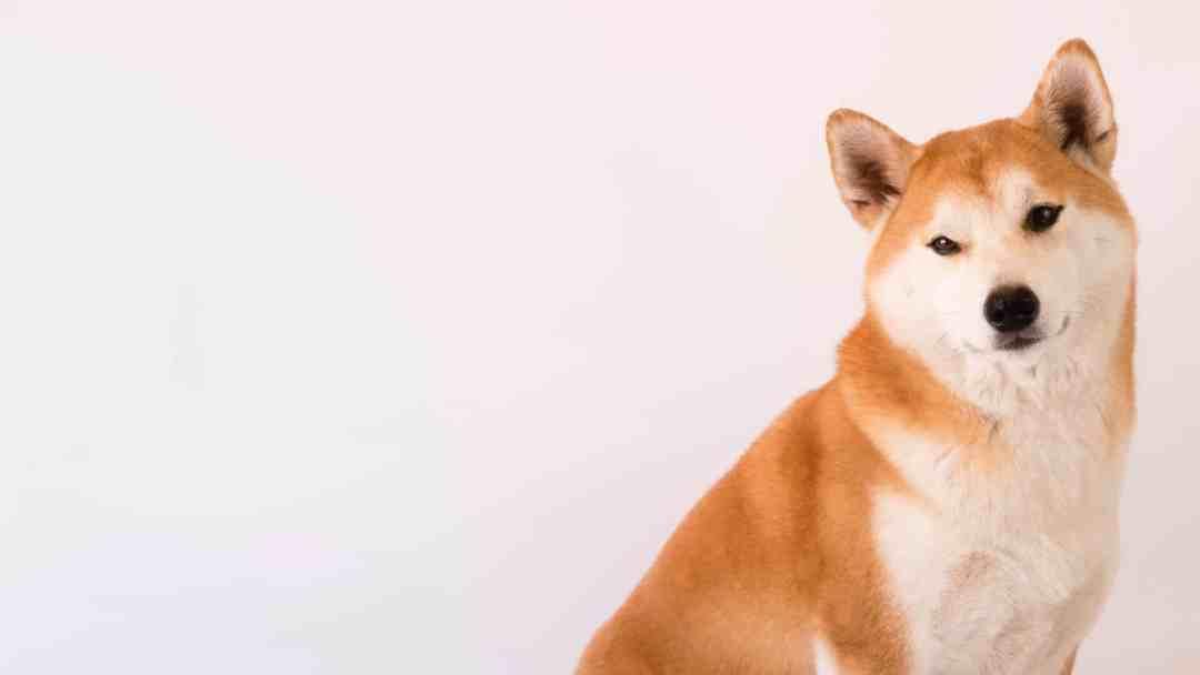 O akita é um cachorro de grande personalidade