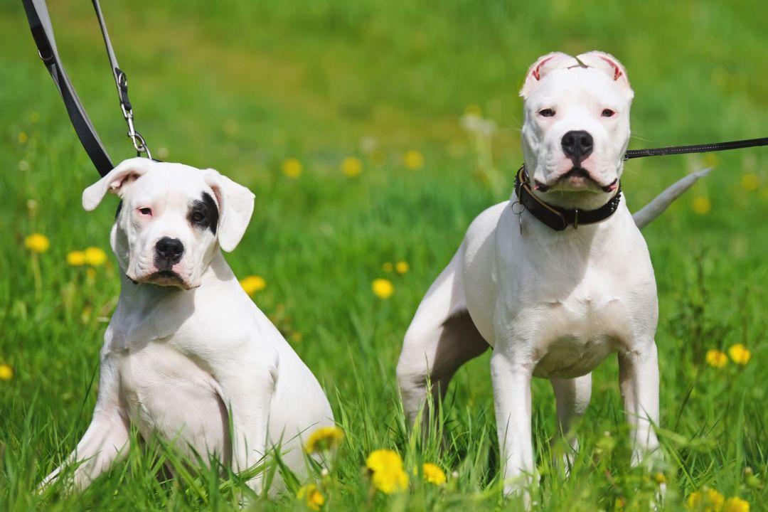 Por sua semelhança, muitas vezes o dogo argentino é confundido com o pit bull