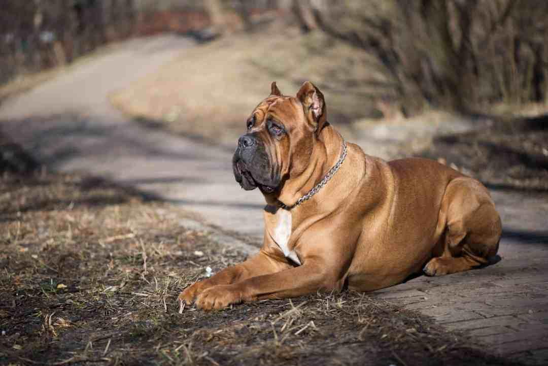 Apesar de seu tamanho assustar, o cane corso tem um enorme coração