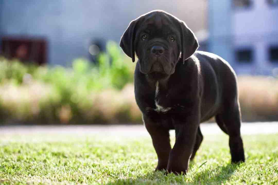 Além disso, esse cachorro é obediente e ama agradar