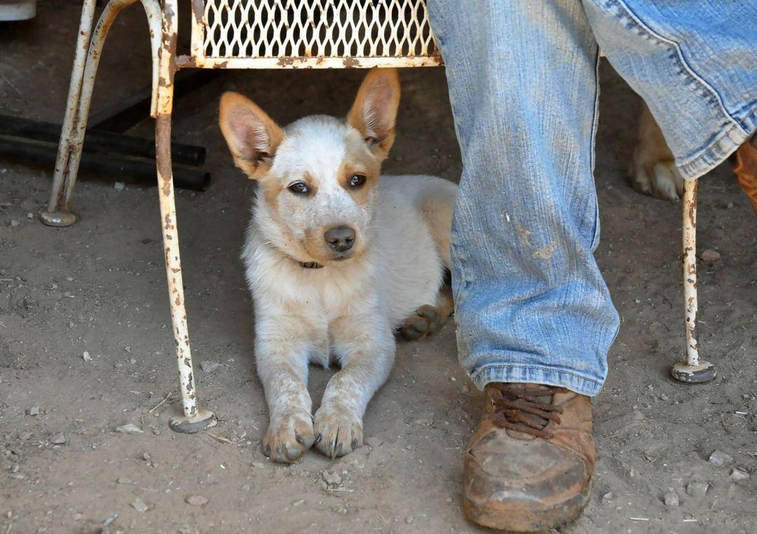 O boiadeiro australiano é um cachorro de pastoreio muito resistente e ativo