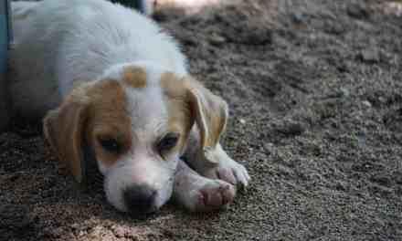 Cachorro vomitando sangue: o que fazer?