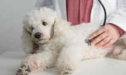 Leptospirose em cães: o que é, sintomas e tratamento