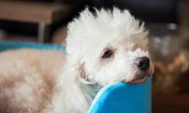 Dermatite canina: o que é, sintomas e tratamento