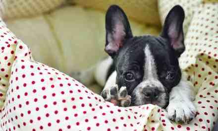 Cachorro bravo: o que fazer?