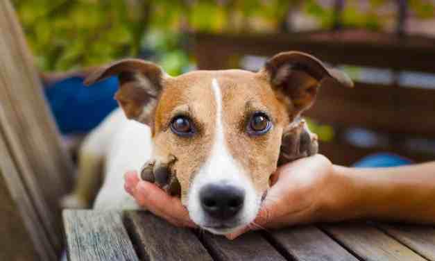 Cachorro no cio: o que fazer?