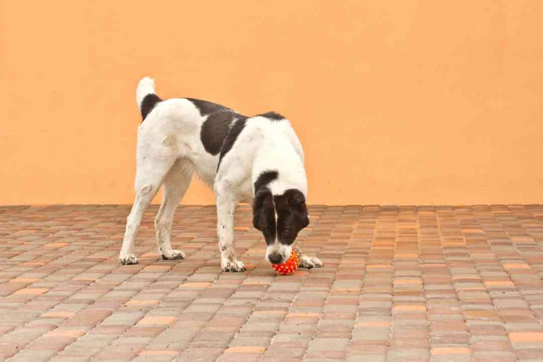 O cachorro SRD costuma ser brincalhão e muito ativo