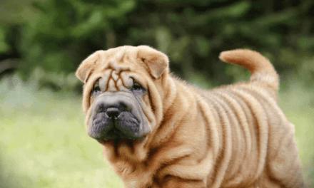 Floral para cachorro: para que serve?