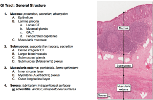 GS HE 31 & 32 GI Histology I and II (GS HE UNIT 4) Flashcards | Memorang