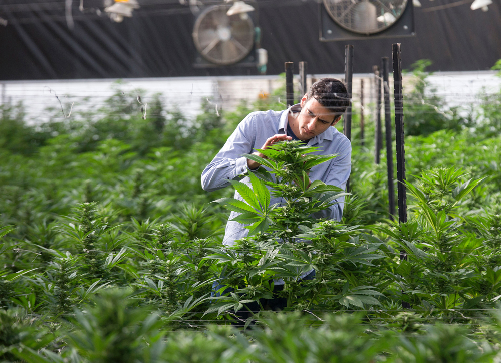 IsraeliScientist Why the worlds most important cannabis scientist isnt stoked on recreational legalization
