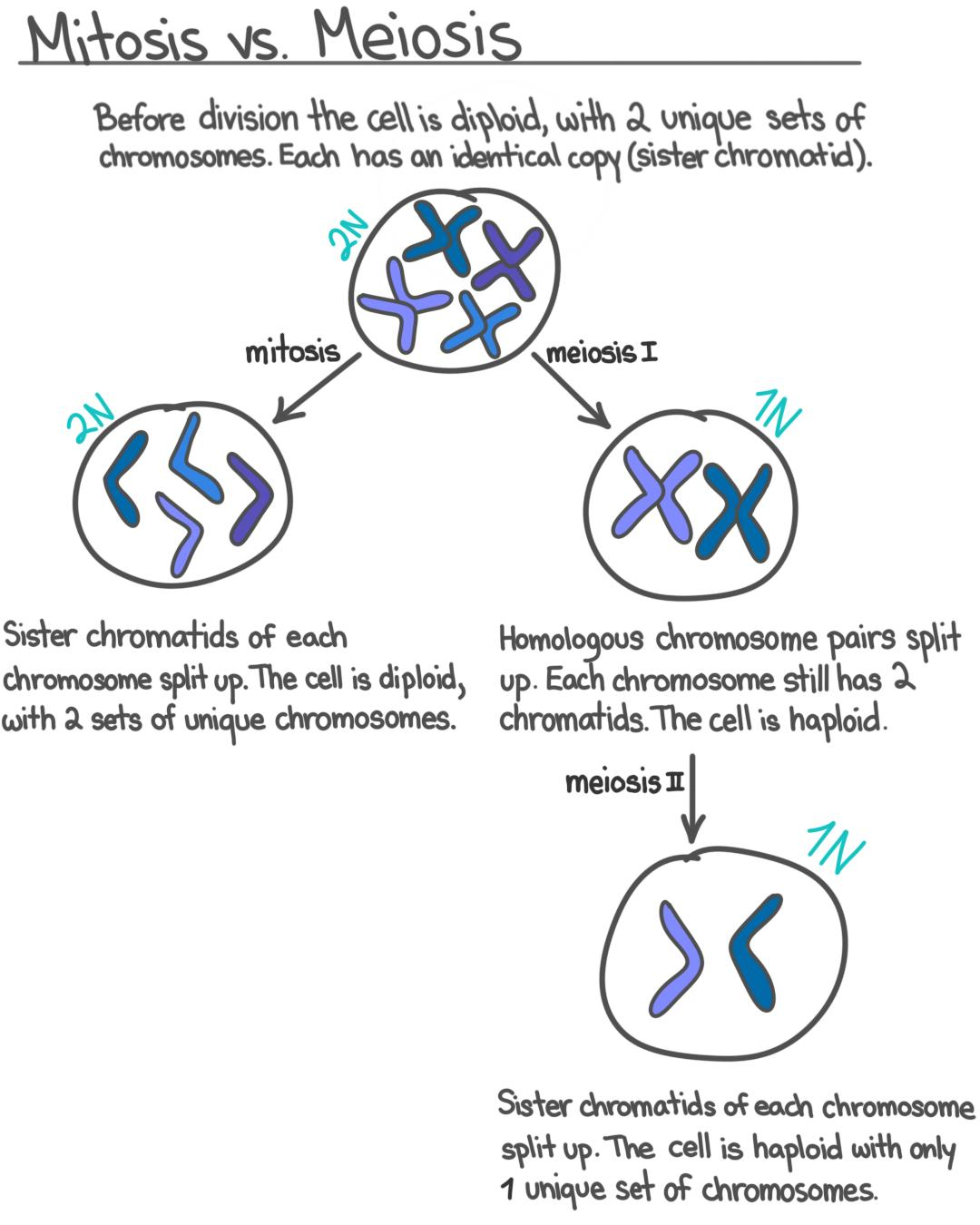 S Phase Interphase Overview Amp Diagrams