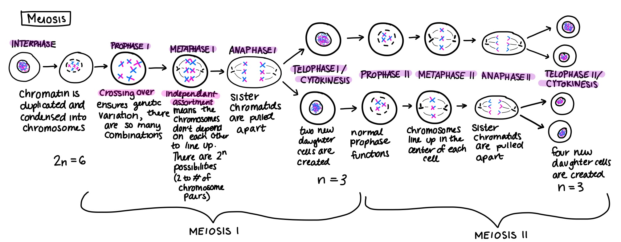 Meiosis Ii Overview Amp Stages
