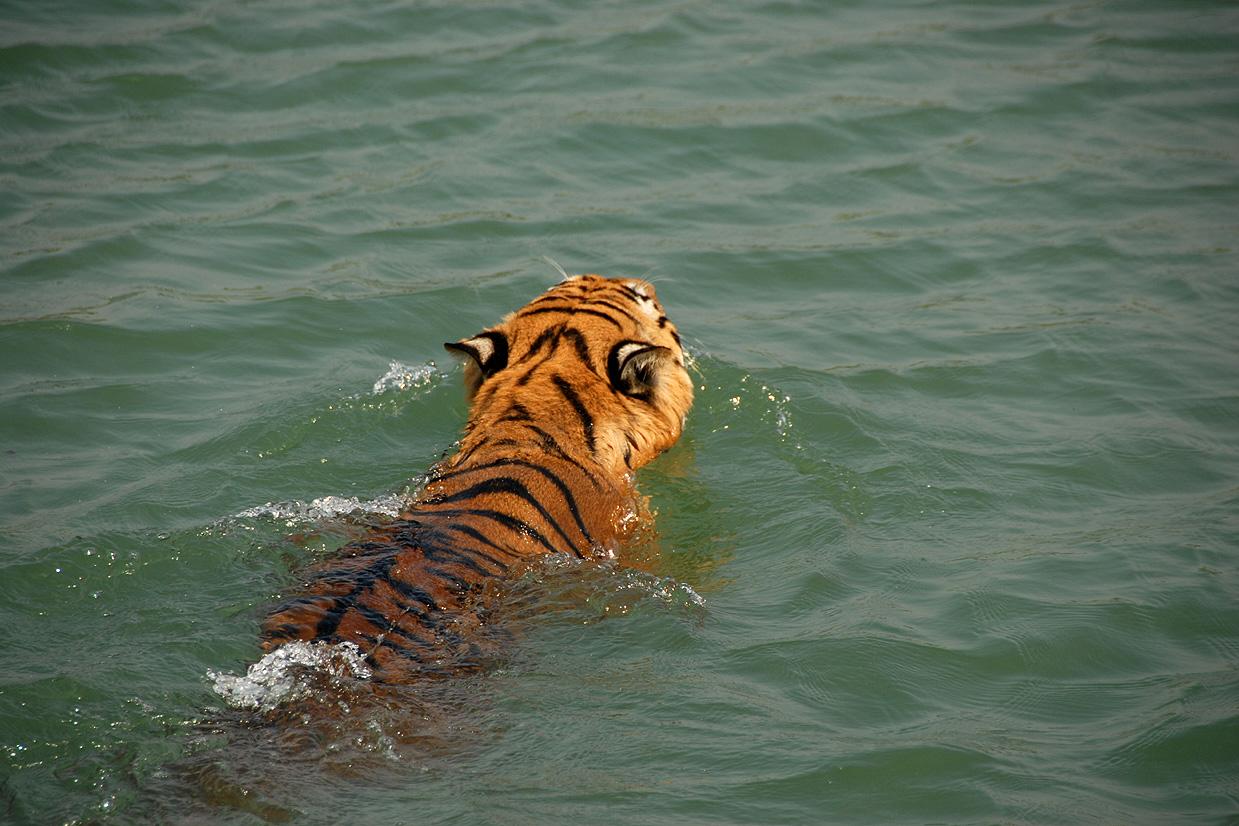 Tiger Adaptation Map