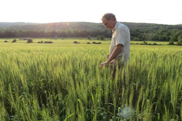 Thor Oechsner, an organic farmer in Newfield, N.Y., stand in a field of hard red spring wheat. (Oechsner Farms)