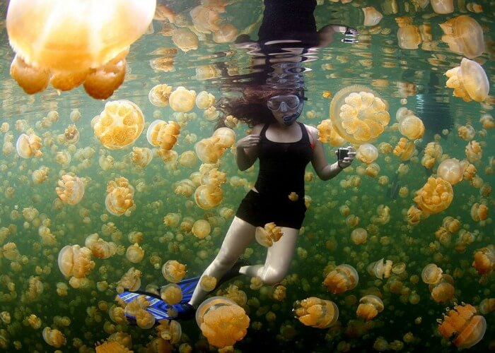 Swim with golden jellyfish swarms